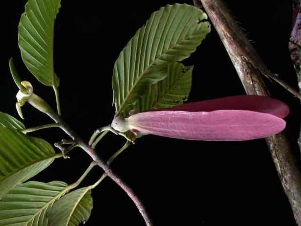 Dipterocarpus-retusus_2