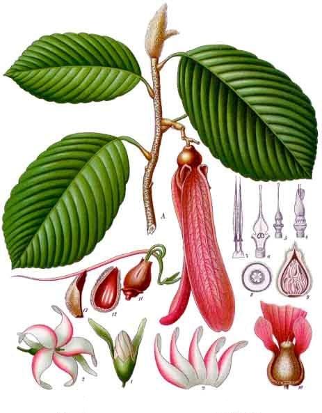 Dipterocarpus_retusus_-_Köhler–s_Medizinal-Pflanzen-054