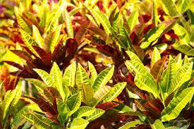 Codiaeum variegatum L