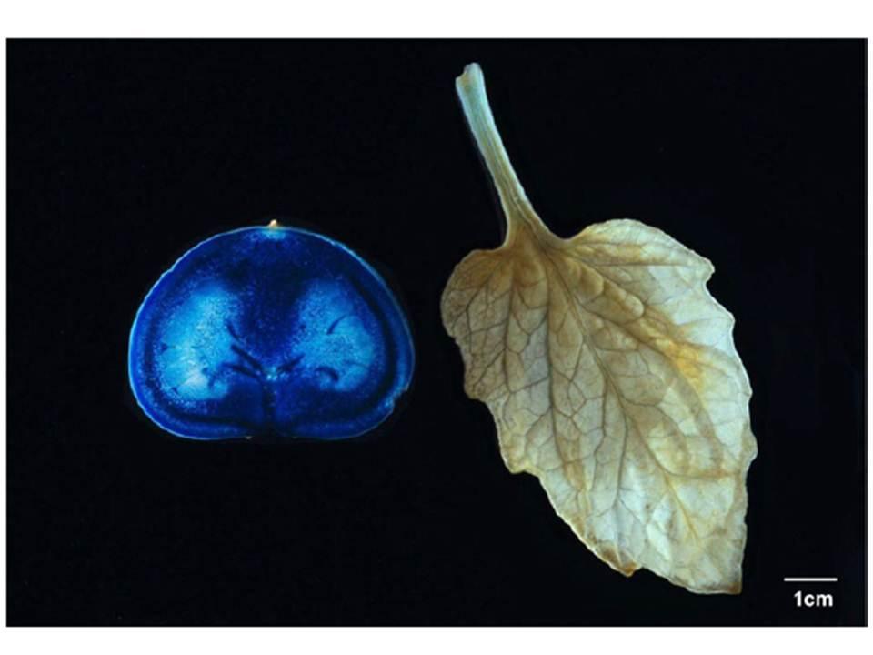 Aktivitas fotosintesis pada buah studi kasus buah tomat the aktivitas fotosintesis pada buah studi kasus buah tomat the adioke center ccuart Images