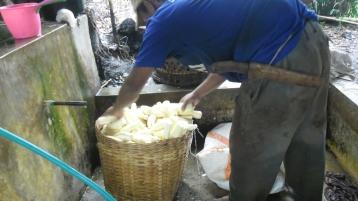 pencucian ubi kayu